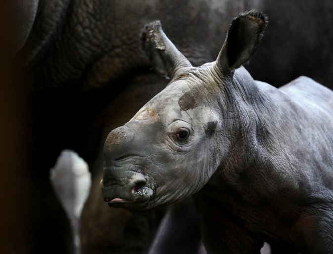 Once on the verge of extinction, now the least threatening: the rhinoceros was born again in the Dutch Zoo