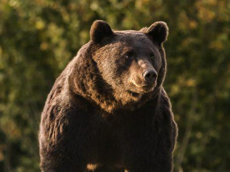 """""""Hij wou gewoon de grootst mogelijk jachttrofee aan zijn muur"""": prins van Liechtenstein schiet """"grootste beer in Europa"""" dood"""