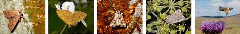 Brown Autumn Owl, Striped Golden Spanner, Flame Owl, Katy Dust Owl & Hummingbird Butterfly