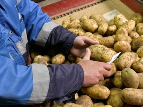 The British close the border to seed potatoes from the European Union